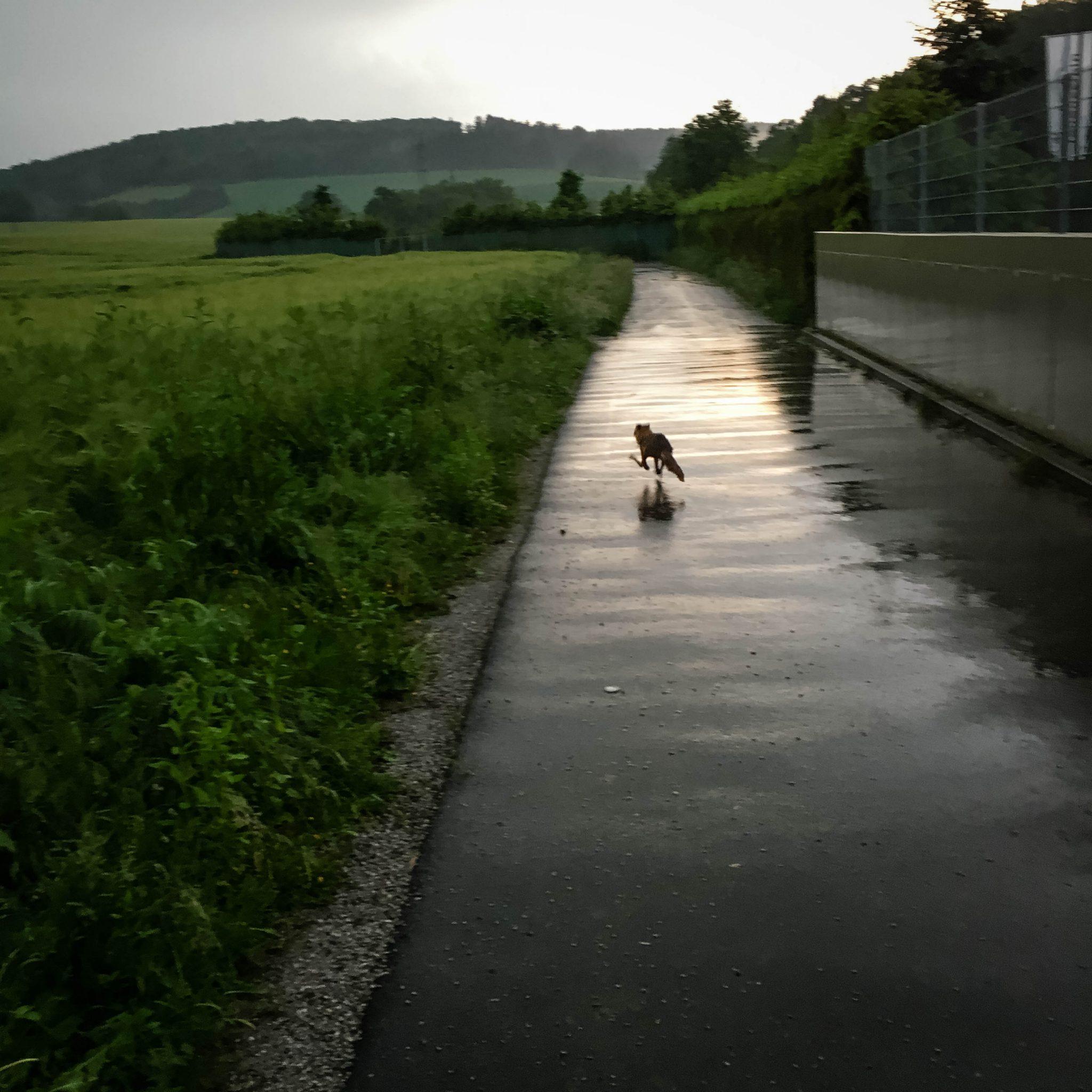 Fuchs Läuft In Freiheit